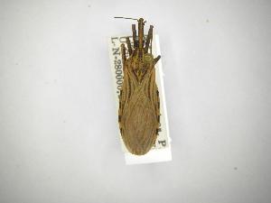 (Rhodnius - INBIOCRI000272749)  @11 [ ] CreativeCommons - Attribution Non-Commercial Share-Alike (2012) Carlos Hernandez Biodiversity Institute of Ontario