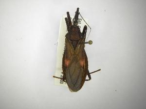 (Triatominae - INBIOCRI001753939)  @16 [ ] CreativeCommons - Attribution Non-Commercial Share-Alike (2012) Carlos Hernandez Biodiversity Institute of Ontario