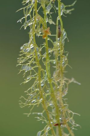 (Utricularia minor - 179_4)  @11 [ ] Copyright (2013) M. Lazarus UG