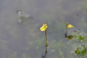 (Utricularia minor - 179 1)  @11 [ ] Copyright (2013) M. Lazarus UG