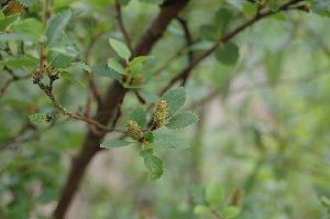 (Betula humilis - 18_1)  @11 [ ] Unspecified (default): All Rights Reserved  Unspecified Unspecified