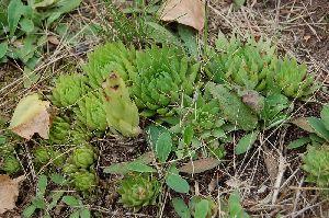 (Crassulaceae - 98_1)  @11 [ ] Copyright (2013) M. Lazarus UG