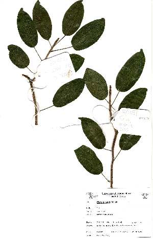 (Ficus tremula - OM2196)  @11 [ ] Unspecified (default): All Rights Reserved  Unspecified Unspecified