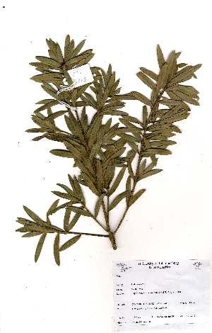 (Podocarpus - OM2273)  @11 [ ] Unspecified (default): All Rights Reserved  Unspecified Unspecified