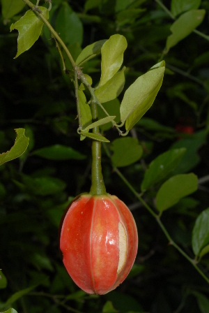 (Capparis erythrocarpos var. rosea - OM2332)  @11 [ ] Unspecified (default): All Rights Reserved  Unspecified Unspecified