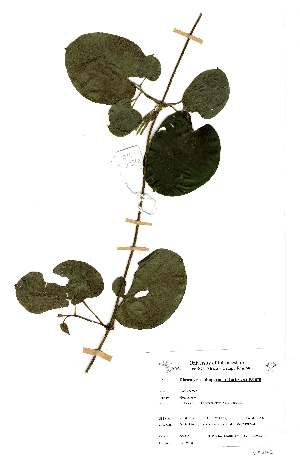 (Dioscorea schimperiana - OM2372)  @11 [ ] Unspecified (default): All Rights Reserved  Unspecified Unspecified