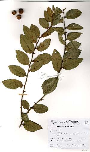 (Diospyros verrucosa - OM2379)  @11 [ ] Unspecified (default): All Rights Reserved  Unspecified Unspecified