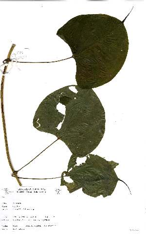 (Dioscorea sansibarensis - OM2421)  @11 [ ] Unspecified (default): All Rights Reserved  Unspecified Unspecified