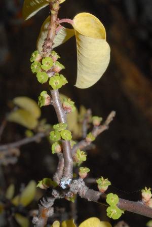 (Euphorbia guerichiana - OM0894)  @11 [ ] Unspecified (default): All Rights Reserved  Unspecified Unspecified