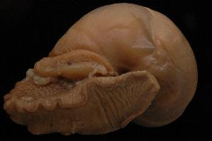 (Humboldtianidae - 317179A)  @11 [ ] CreativeCommons - Attribution Non-Commercial (2013) John Slapcinsky Florida Museum of Natural History