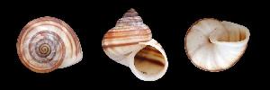 (Tropidophora philippiana - UF302689A)  @14 [ ] CreativeCommons - Attribution Non-Commercial Share-Alike (2011) John Slapcinsky Florida Museum of Natural History