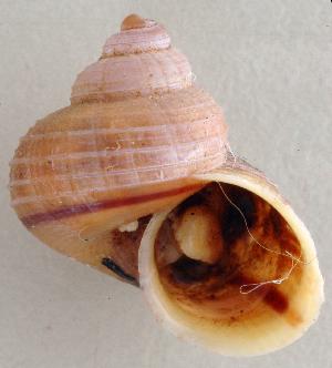 (Tropidophora sp. 212JS - UF334815e)  @12 [ ] CreativeCommons - Attribution Non-Commercial Share-Alike (2011) John Slapcinsky Florida Museum of Natural History