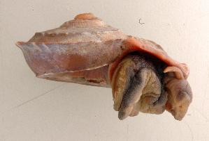 (Tropidophora deburghiae - UF448440b)  @11 [ ] CreativeCommons - Attribution Non-Commercial Share-Alike (2011) John Slapcinsky Florida Museum of Natural History