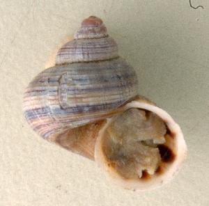(Tropidophora bemaraensis - UF448455a)  @14 [ ] CreativeCommons - Attribution Non-Commercial Share-Alike (2011) John Slapcinsky Florida Museum of Natural History