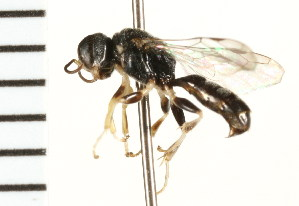 (Crossocerus maculiclypeus - LP00404)  @11 [ ] CreativeCommons - Attribution Non-Commercial Share-Alike (2009) Unspecified Biodiversity Institute of Ontario