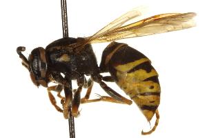 (Vespula vidua - BIOUG07541-H09)  @14 [ ] CreativeCommons - Attribution Non-Commercial Share-Alike (2013) BIO Photography Group Biodiversity Institute of Ontario
