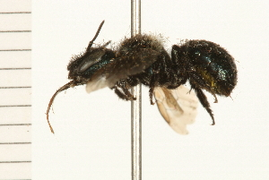 (Osmia laeta - 08BBHYM-0281)  @13 [ ] CreativeCommons - Attribution Non-Commercial Share-Alike (2009) BIO Photography Group Biodiversity Institute of Ontario