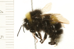 (Bombus moderatus - 08BBHYM-0352)  @14 [ ] CreativeCommons - Attribution Non-Commercial Share-Alike (2009) BIO Photography Group Biodiversity Institute of Ontario