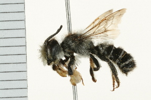 (Megachile pugnata pomonae - 08BBHYM-0360)  @14 [ ] CreativeCommons - Attribution Non-Commercial Share-Alike (2009) Unspecified Biodiversity Institute of Ontario