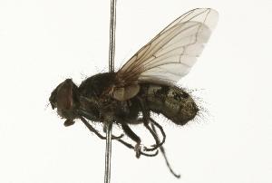 (Pollenia pediculata - 08TTML-0584)  @14 [ ] CreativeCommons - Attribution Non-Commercial Share-Alike (2009) BIO Photography Group Biodiversity Institute of Ontario