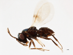 (Encyrtidae - BIOUG00837-A01)  @14 [ ] CreativeCommons - Attribution Non-Commercial Share-Alike (2011) CBG Photography Group Centre for Biodiversity Genomics