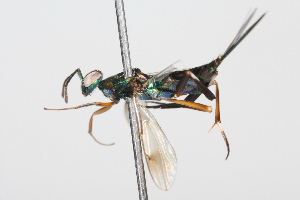 (Chalcididae - 08TTML-0330)  @15 [ ] CreativeCommons - Attribution Non-Commercial Share-Alike (2009) BIO Photography Group Biodiversity Institute of Ontario
