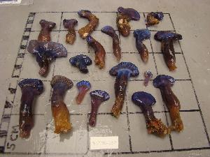 (Holozoidae - SPN13-008)  @11 [ ] CreativeCommons - Attribution Non-Commercial Share-Alike (2013) SAIAB SAIAB