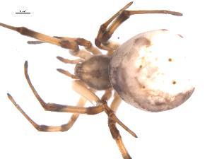 (Latrodectus pallidus - BIOUG00161-E07)  @13 [ ] Copyright  G. Blagoev 2010 Unspecified