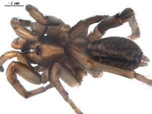 (Nemesiidae - BIOUG00198-D02)  @13 [ ] Copyright  G. Blagoev 2010 Unspecified