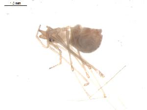 (Leptonetidae - BIOUG00198-D12)  @12 [ ] Copyright  G. Blagoev 2010 Unspecified