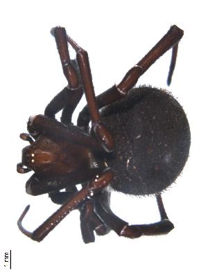 (Latrodectus tredecimguttatus - BIOUG00524-A03)  @13 [ ] Copyright  G. Blagoev 2010 Unspecified