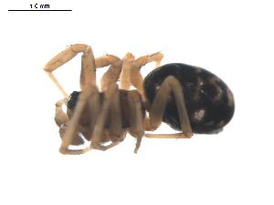 (Neriene furtiva - BIOUG00525-B09)  @12 [ ] Copyright  G. Blagoev 2010 Unspecified