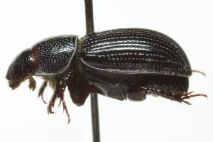 (Aegialia lacustris - 09PROBE-CV041)  @13 [ ] CreativeCommons - Attribution Non-Commercial Share-Alike (2010) Biodiversity Institute of Ontario 2010 Biodiversity Institute of Ontario