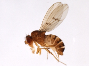 (Drosophila sp. TAW1 - MTDIC-0171)  @14 [ ] CreativeCommons - Attribution Non-Commercial Share-Alike (2009) Unspecified Biodiversity Institute of Ontario