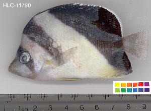 (Chaetodon burgessi - HLC-11790)  @15 [ ] CreativeCommons - Attribution Non-Commercial Share-Alike (2010) BIO Photography Group Biodiversity Institute of Ontario