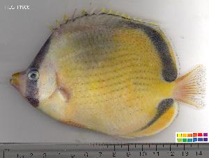 (Chaetodon semeion - HLC-11906)  @15 [ ] CreativeCommons - Attribution Non-Commercial Share-Alike (2010) BIO Photography Group Biodiversity Institute of Ontario