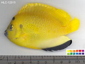 (Apolemichthys - HLC-12019)  @15 [ ] CreativeCommons - Attribution Non-Commercial Share-Alike (2010) CBG Photography Group Centre for Biodiversity Genomics