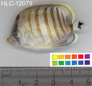 (Chaetodon multicinctus - HLC-12079)  @14 [ ] CreativeCommons - Attribution Non-Commercial Share-Alike (2010) BIO Photography Group Biodiversity Institute of Ontario