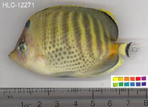 (Chaetodon punctatofasciatus - HLC-12271)  @14 [ ] CreativeCommons - Attribution Non-Commercial Share-Alike (2010) BIO Photography Group Biodiversity Institute of Ontario