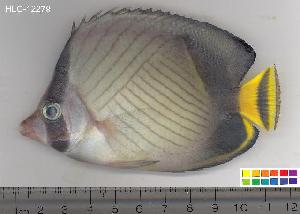 (Chaetodon decussatus - HLC-12279)  @14 [ ] CreativeCommons - Attribution Non-Commercial Share-Alike (2010) Unspecified Biodiversity Institute of Ontario