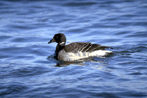 (Branta bernicla - BR 08)  @13 [ ] Unspecified (default): All Rights Reserved  Unspecified Unspecified