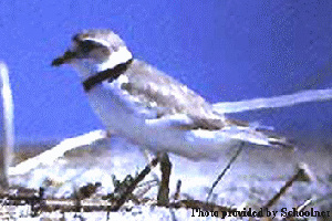 (Charadrius melodus - JGS 1756)  @13 [ ] Unspecified (default): All Rights Reserved  Unspecified Unspecified