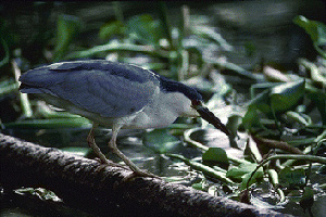 (Nycticorax nycticorax - 1B-154)  @14 [ ] Unspecified (default): All Rights Reserved  Unspecified Unspecified
