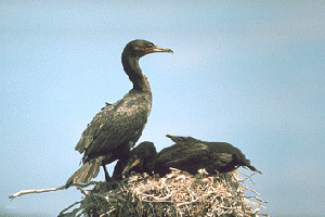 (Phalacrocorax auritus - 1B-3407)  @13 [ ] Unspecified (default): All Rights Reserved  Unspecified Unspecified