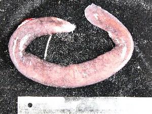 (Eptatretus deani - TZ05-FROSTI-215)  @13 [ ] CreativeCommons - Attribution Non-Commercial Share-Alike (2007) CBG Photography Group Centre for Biodiversity Genomics