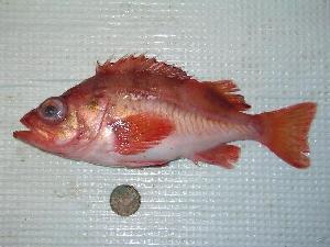 (Sebastes reedi - TZ-06-RICKER-799)  @14 [ ] CreativeCommons - Attribution Non-Commercial Share-Alike (2007) BIO Photography Group Biodiversity Institute of Ontario