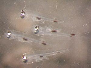 (Epinephelus rivulatus - CCDB-13981_E09)  @14 [ ] Copyright (2013) Allan D. Connell Unspecified