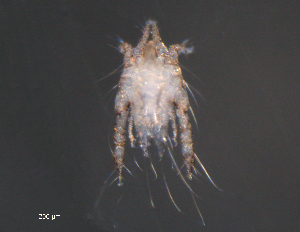(Analgidae - BIOUG15124-B02)  @13 [ ] CreativeCommons - Attribution Non-Commercial Share-Alike (2015) Biodiverisity Institute of Ontario Biodiversity Institute of Ontario