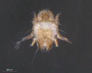 (Epidermoptidae - BIOUG15124-H06)  @13 [ ] by-nc-sa - Creative Commons - Attribution Non-Comm Share-Alike (2015) Biodiverisity Institute of Ontario Biodiversity Institute of Ontario