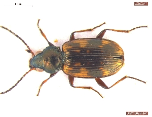 (Bembidion intermedium - UAM:Ento:171608)  @13 [ ] CreativeCommons - Attribution Non-Commercial No Derivatives (2012) Derek Sikes University of Alaska Museum